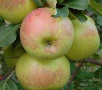 Яблоня Богатырь 2-х летка, зимний, ком