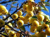 Яблоня Китайка золотая ранняя 3-х летка, летний, ОКС+С10