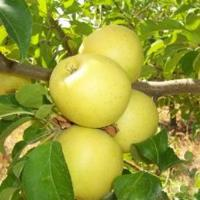 Яблоня Лимонное крупное 1 летка, ОКС