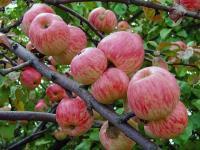 Яблоня Мельба C5