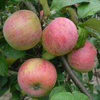 Яблоня Осеннее полосатое (штрифель) 1 летка, летний, ОКС